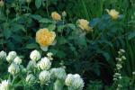 2015_0619_rosa-trifolium
