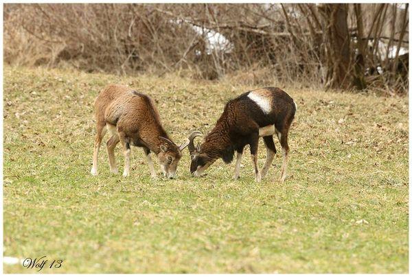 mouflon13-11