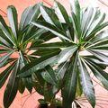 Pachypodium rutenbergianum (1)