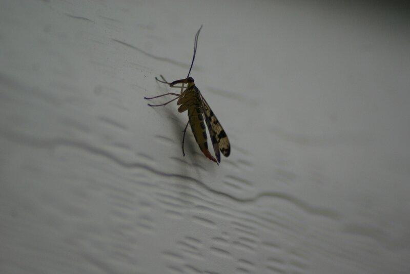 Panorpa vulgaris38