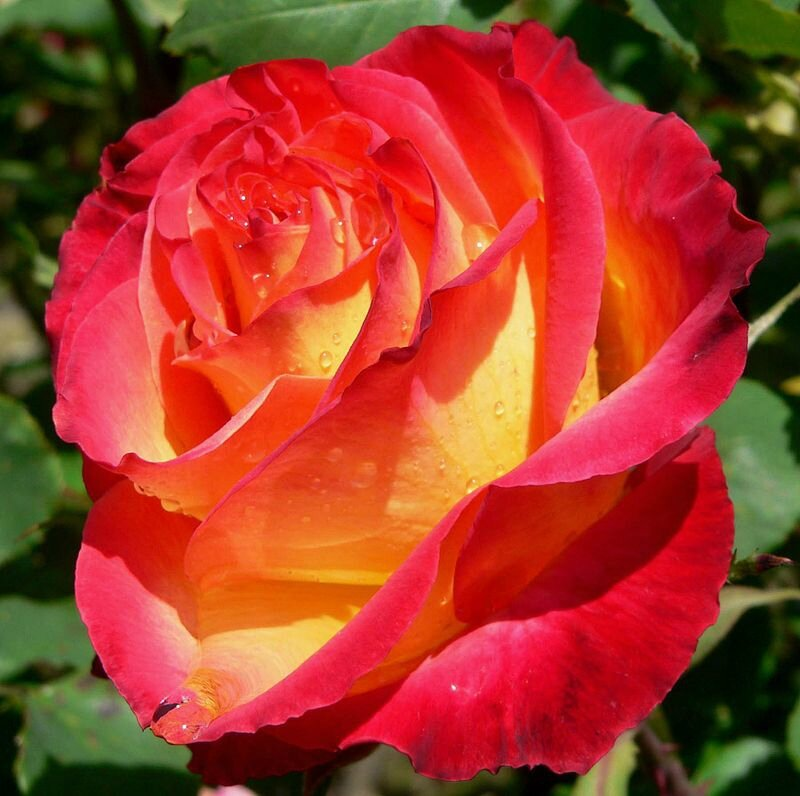 800px-Rosa_Perfect_Moment_1