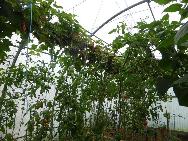 28-serre-tomates-raisins (1)