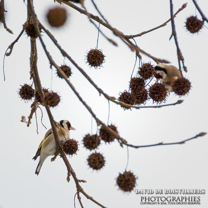 Chardonneret élégant (Carduelis carduelis - European Goldfinch)