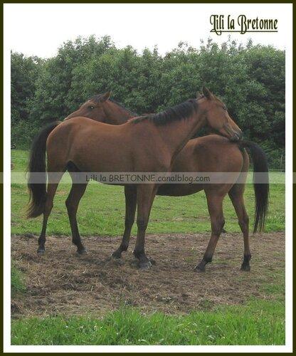 chevaux à Moréac 1