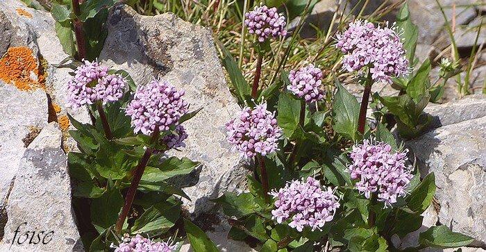 fleurs en corymbe dense