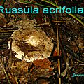 Russula acrifolia