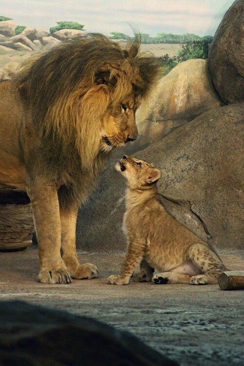 lion male et lionceau