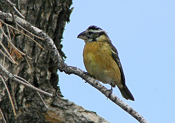 black_headed_Grosbeak