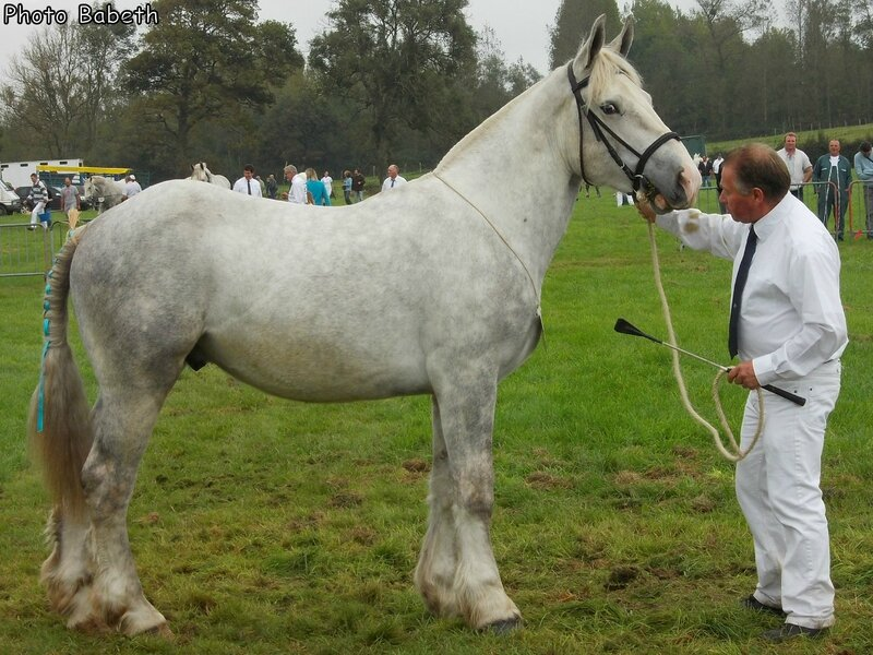 Cesar 52 - Concours des Etalons - Samer (62) - 27/09/2014 - 12e (2 ans)