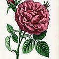 JAMAIN LES ROSES 1863 MARECHAL FOREY