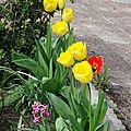 Tulipes jaune et rouge