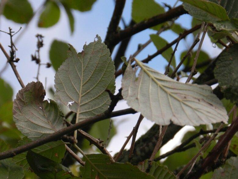 herbier alisier blc phoro vero 18 9 2017 (4)