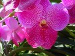 an_other_pink_orchid