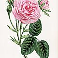 JAMAIN LES ROSES 1873 ROSE CENT FEUILLES MOUSSUE