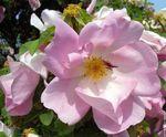 _glantine_rose