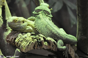 Lézard Agame barbu