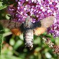 papillon_ 100