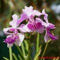 orchid_32