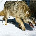 Un enfant sauvé des loups en jouant un morceau de heavy metal