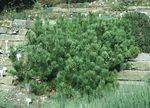 Pinus_mugo_mughus