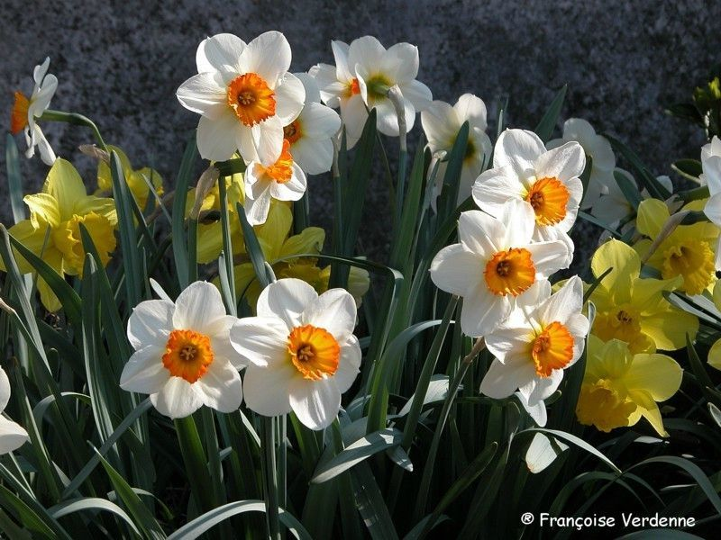 Narcisse narcissus hybr all e fleurie for Plante narcisse