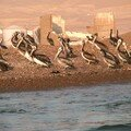 105 - Iles Ballestas, cormorans