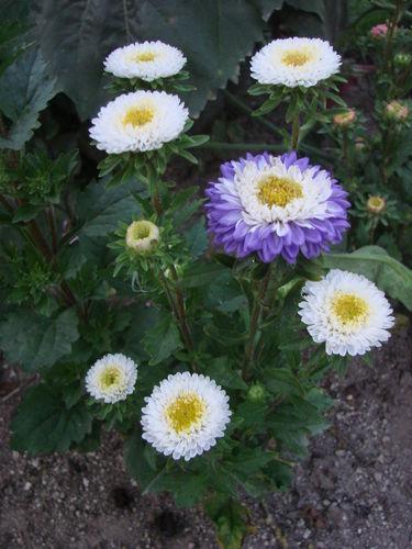 2008 09 10 Mes reines marguerites en fleurs
