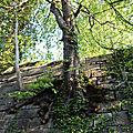 Les passe-murailles de blamont 25310. encore une prouesse vegetale pour ces marronniers d'exception... 20 avril 2017.
