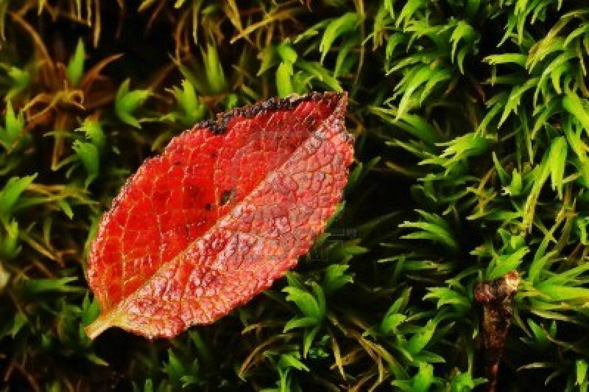 arbre feuille rouge. gallery of x feuille rouge drable fond d
