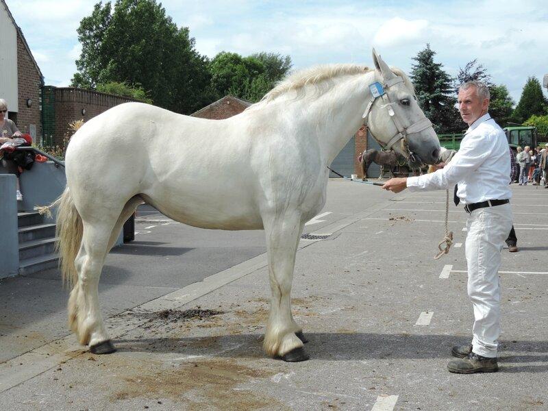 Duchesse de Drucat - 21 Juin 2016 - Concours d'élevage local - Thérouanne - 2e (3 ans)