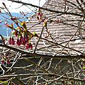 - debut du cerisier -