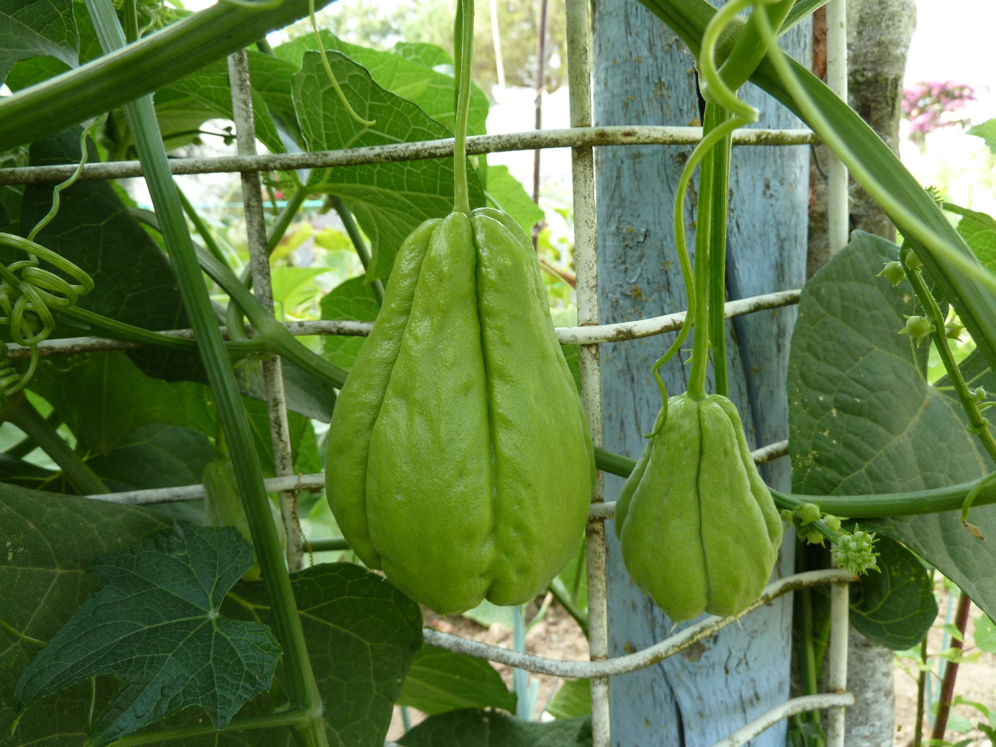 Chayotte ou christophine - www.passionpotager.canalblog.com