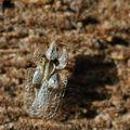 Corythuca ciliata (le tigre du platane)