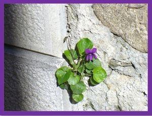 8 marzo - viole sul muro in via Rivis