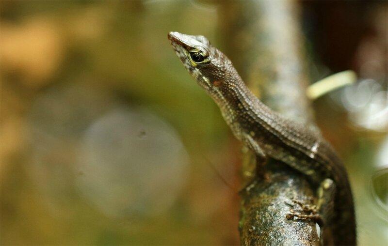 Neusticurus bicarinatus - Nesticure sillonné
