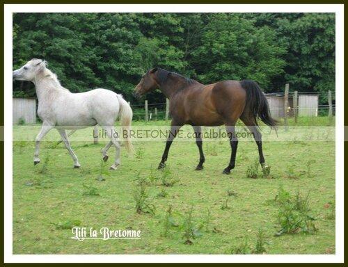 chevaux à Moréac 15
