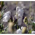L'Aconit se fane et blanchit au soleil redouté du mois d'Août