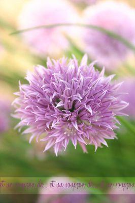 fleur ciboulette