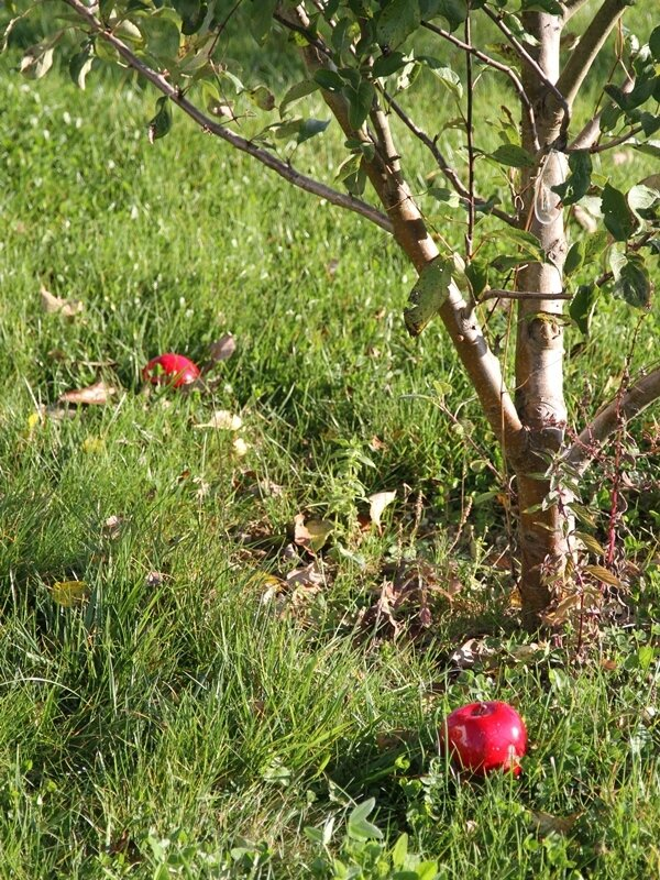 pommes dignes de la sorciere de blanche-neige