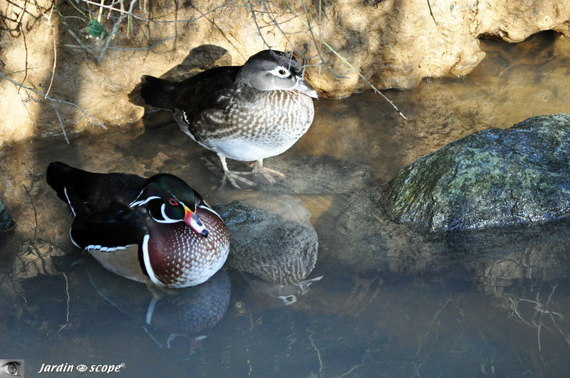 Couple de Canards