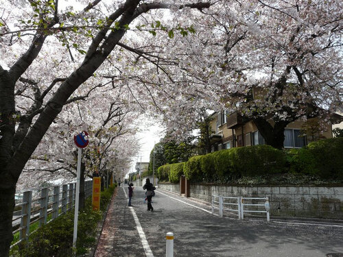 Canalblog Tokyo Cerisier 2010 Den En Chofu02