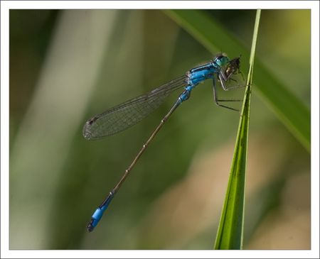 Niort_libell_agrion_repas_2_0809