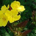 Oenothera fruticosa 'fyrverkeri