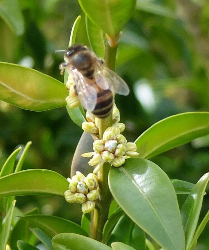 abeille italienne recoltant le pollen du buis