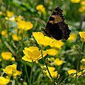 Papillons de l'été