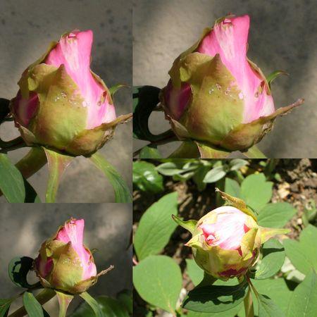 jardin_pivoines_1