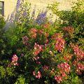 Roses, delphiniums et alchemilles derrière la grange