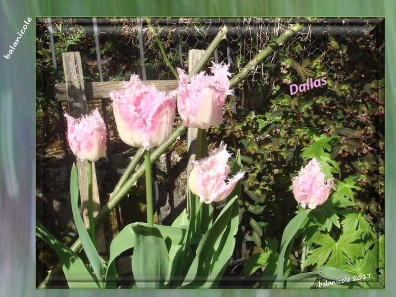 balanicole_2017_05_le printemps des tulipes_30_dallas