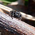 L'araignée sauteuse (Evarcha arcuata)