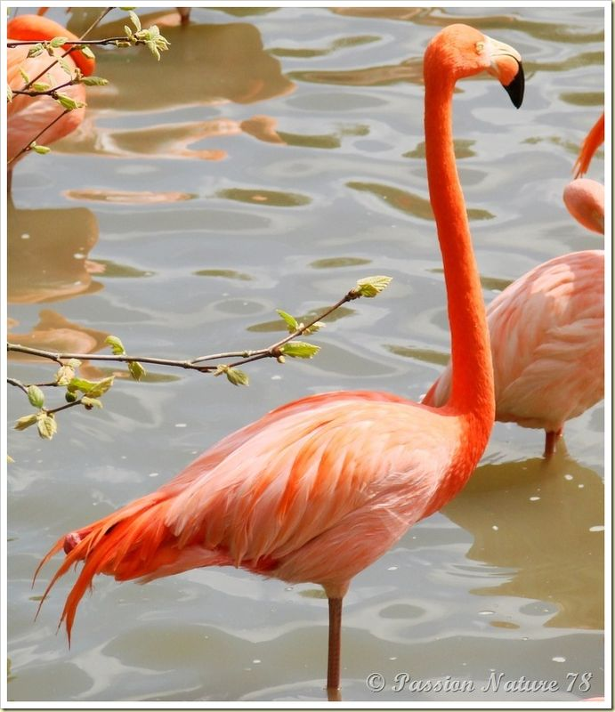 Les flamants roses (8)